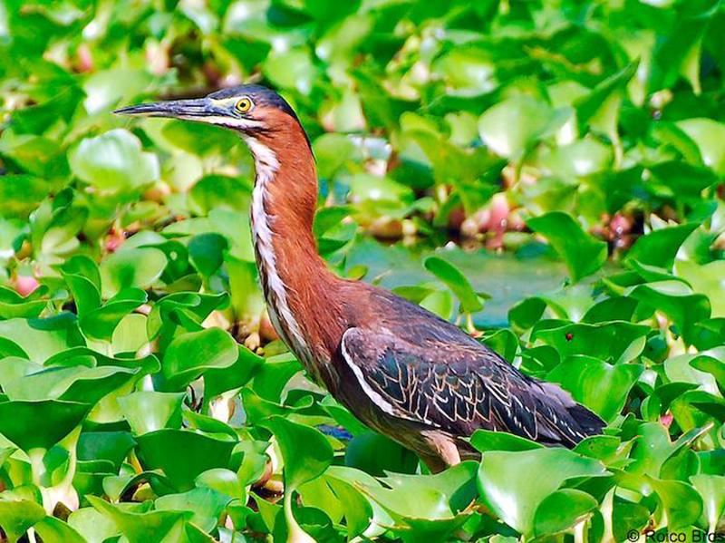 Combien d'espèces d'oiseaux vivent au moins une partie de leur vie dans la mangrove ?